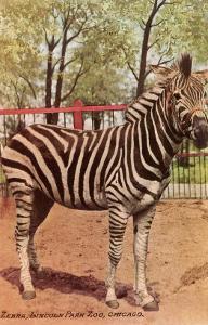 Zebra, Lincoln Park Zoo, Chicago, Illinois