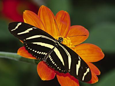 Zebra Longwing Butterfly, Selva Verde, Costa Rica-Charles Sleicher-Photographic Print