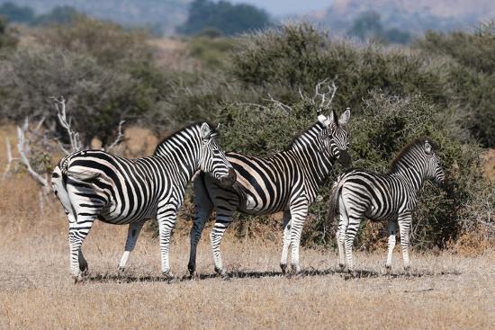 Zebra, Mashatu Game Reserve, Botswana-Sergio Pitamitz-Photographic Print