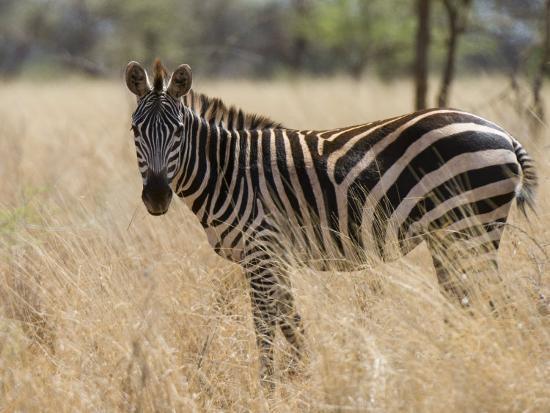 Zebra, Meru National Park, Kenya, East Africa, Africa-Pitamitz Sergio-Photographic Print