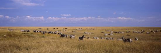 Zebra Migration, Masai Mara National Reserve, Kenya--Photographic Print