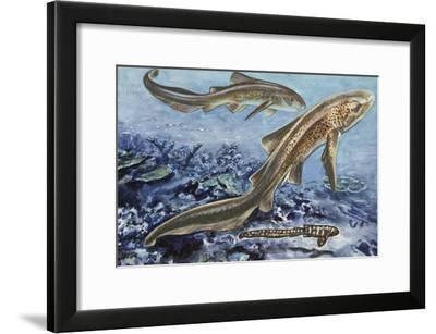 Zebra Shark (Stegostoma Tigrinum), Stegostomatidae, Drawing--Framed Giclee Print