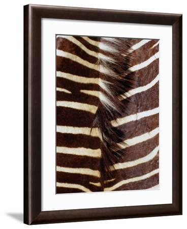 Zebra Skin Detail, Durban, Kwazulu-Natal, South Africa-Richard I'Anson-Framed Photographic Print