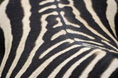 Zebra Stripes-Staffan Widstrand-Giclee Print