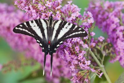 https://imgc.artprintimages.com/img/print/zebra-swallowtail-butterfly_u-l-q12t9x80.jpg?p=0