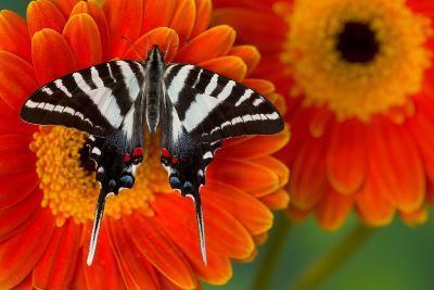 Zebra Swallowtail Butterfly-Darrell Gulin-Photographic Print