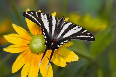 https://imgc.artprintimages.com/img/print/zebra-swallowtail-butterfly_u-l-q12ta1m0.jpg?p=0