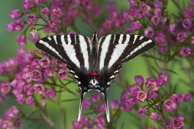 Zebra Swallowtail, North American Swallowtail Butterfly-Darrell Gulin-Photographic Print