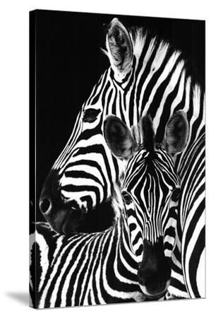 Zebra-
