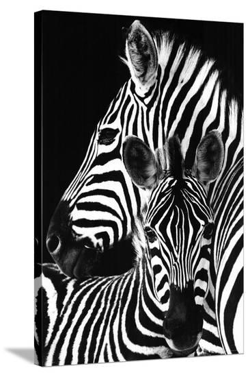 Zebra---Stretched Canvas Print