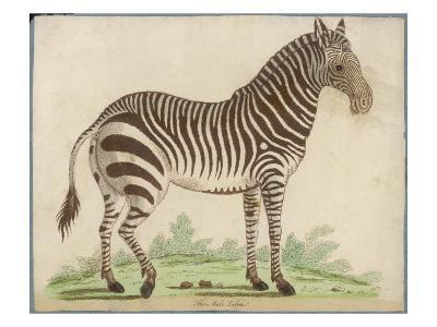 Zebra--Giclee Print