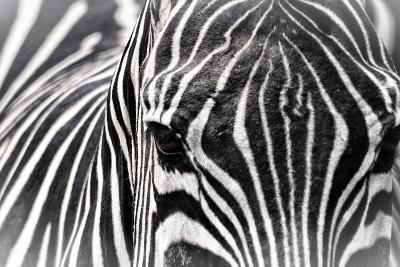 Zebra-Gordon Semmens-Photographic Print