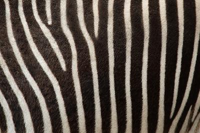 Zebra- uzuri-Photographic Print