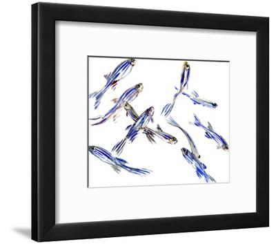 Zebrafish-Suren Nersisyan-Framed Art Print