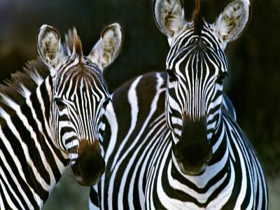 Zebras Africa--Photographic Print