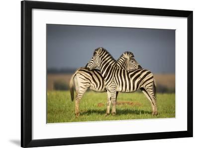 Zebras Allogrooming-Richard Du Toit-Framed Photographic Print