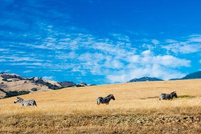 Zebras along the Pacific Coastline-Woodkern-Photographic Print