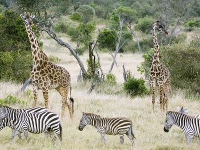 Zebras and Giraffes, Masai Mara, Kenya, Africa-Daniel Schreiber-Photographic Print