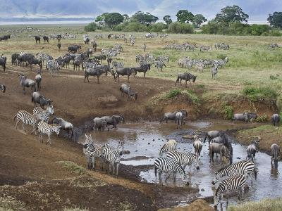 Zebras and Wildebeest at a Waterhole, Tanzania--Photographic Print