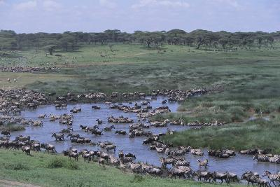 Zebras and Wildebeest at Water Hole-DLILLC-Photographic Print