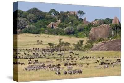 Zebras and Wildebeests (Connochaetes Taurinus) During Migration, Serengeti National Park, Tanzania
