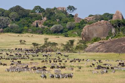 Zebras and Wildebeests (Connochaetes Taurinus) During Migration, Serengeti National Park, Tanzania