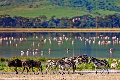 Zebras and Wildebeests Walking beside the Lake in the Ngorongoro Crater, Tanzania, Flamingos in The-Travel Stock-Photographic Print