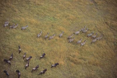 Zebras and Wildebeests-DLILLC-Photographic Print