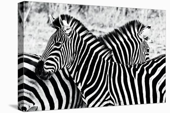 Zebras at Dawn--Stretched Canvas Print