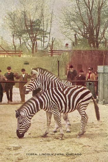 Zebras at Lincoln Park Zoo--Art Print