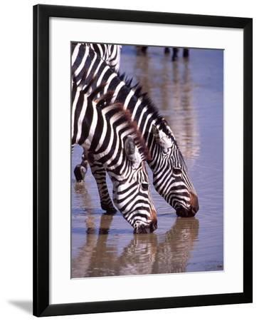 Zebras at the Water Hole, Tanzania-David Northcott-Framed Photographic Print