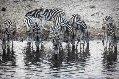 Zebras Drink from the Boteti River in Botswana's Makgadikgadi Pans-Cory Richards-Photographic Print