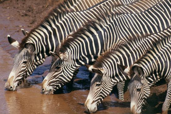 Zebras Drinking from River-DLILLC-Photographic Print