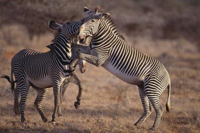 https://imgc.artprintimages.com/img/print/zebras-fighting_u-l-pzr5ap0.jpg?p=0