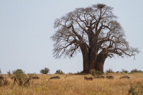 Zebras Grazing Near a Large Baobab Tree-Erika Skogg-Photographic Print