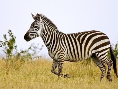 Zebras Herding in The Fields, Maasai Mara, Kenya-Joe Restuccia III-Photographic Print