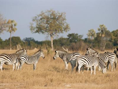 Zebras, Hwange National Park, Zimbabwe, Africa-Sergio Pitamitz-Photographic Print