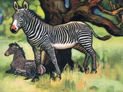 Zebras, Illustration from 'Pads, Paws and Claws', 1924--Giclee Print