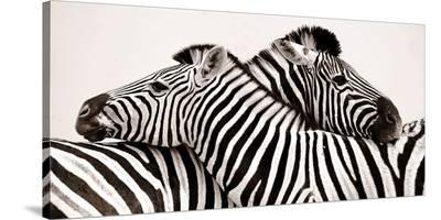 Zebras in love--Stretched Canvas Print