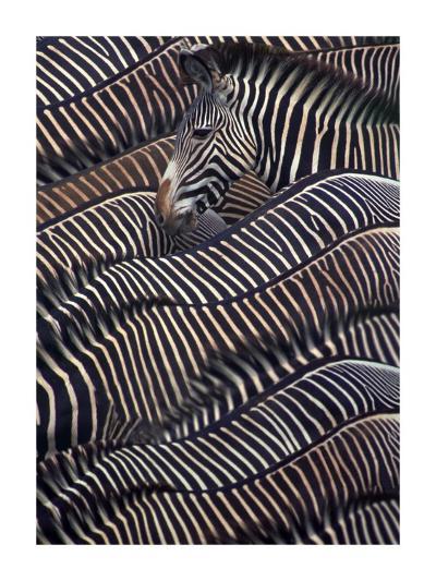 Zebras in Samburu National reserve, Kenya-DLI Agency-Art Print