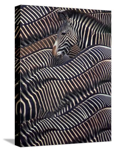 Zebras in Samburu National reserve, Kenya-DLI Agency-Stretched Canvas Print