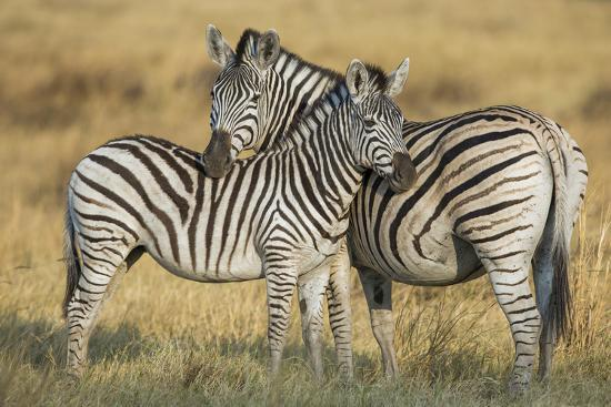 Zebras in the Grasslands of Botswana's Chitabe Concession Area-Cory Richards-Photographic Print
