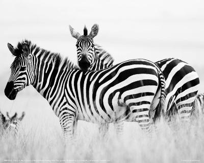 Zebras in the Tall Grass Full Bleed (b&w)-Martin Fowkes-Giclee Print