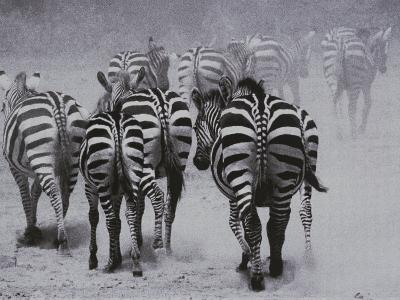 Zebras Kick up a Dust Storm as They Head out of the Area-Bobby Model-Photographic Print