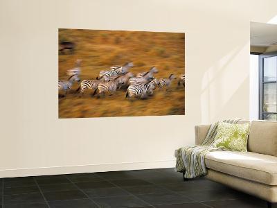 Zebras, Maasai Mara Game Reserve, Kenya-Paul Joynson-hicks-Wall Mural