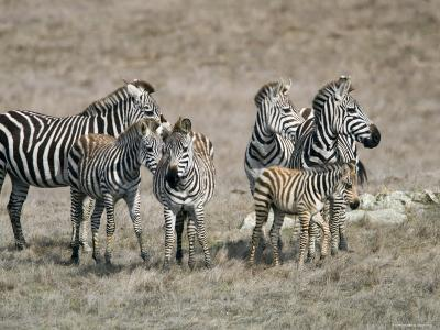 Zebras on the Hearst Castle Property, California-Rich Reid-Photographic Print