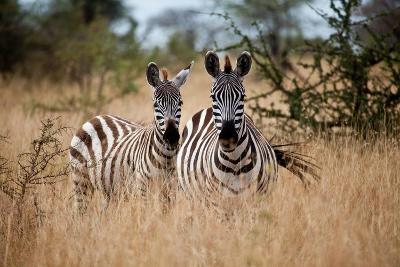 Zebras on the Savannah-Gary Tognoni-Photographic Print