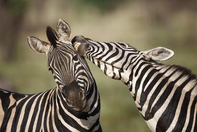 Zebras, South Africa-Richard Du Toit-Photographic Print