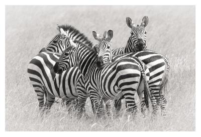 Zebras-Kirill Trubitsyn-Giclee Print
