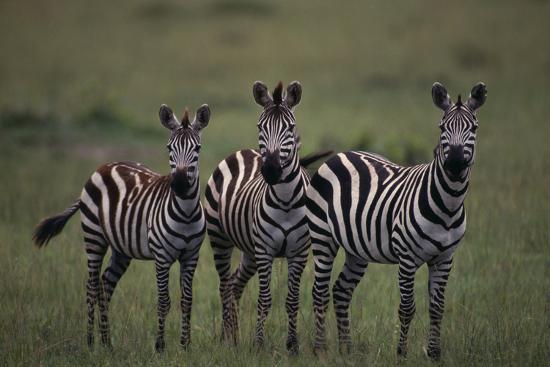 Zebras-DLILLC-Photographic Print